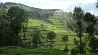 Tea Plantations_1