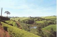 Tea Plantations_7
