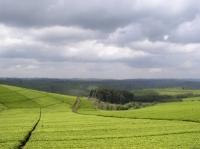 Tea Plantations_10