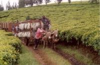 Tea Plantations_2