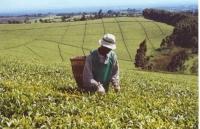 Tea Plantations_4