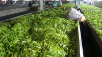 Tea Production Process_1