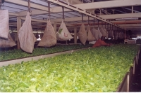 Tea Production Process_2